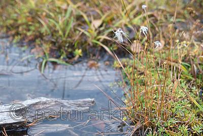 SIG_0327 / Eriophorum brachyantherum / Gulmyrull