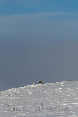 SIG_1175 / Rangifer tarandus tarandus / Fjellrein