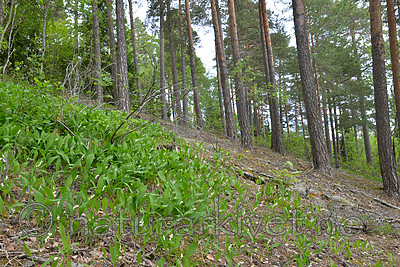 SIG_1199 / Convallaria majalis / Liljekonvall