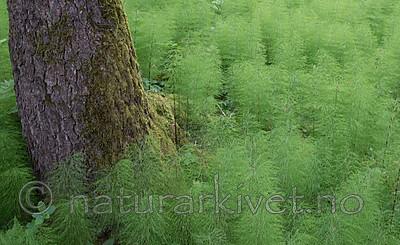 SIG_1259 / Equisetum sylvaticum / Skogsnelle