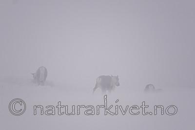 SIG_1547 / Rangifer tarandus tarandus / Fjellrein