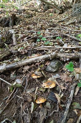 SIG_2575 / Cortinarius caesiocortinatus / Rasmarkslørsopp