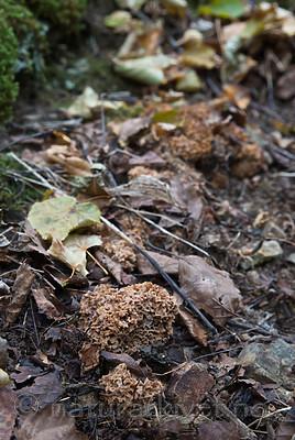 SIG_2742 / Gautieria graveolens <br /> Gautieria morchelliformis / Gropeknoll
