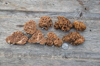 SIG_2768 / Gautieria graveolens <br /> Gautieria morchelliformis / Gropeknoll
