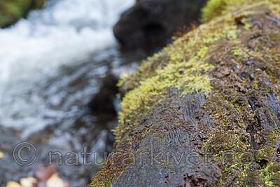 SIG_3057 / Scapania apiculata / Fakkeltvebladmose