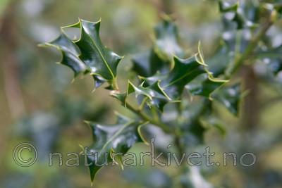 SIG_3596 / Ilex aquifolium / Kristtorn