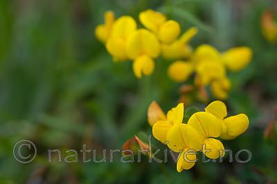 SIG_4089 / Lotus corniculatus / Tiriltunge