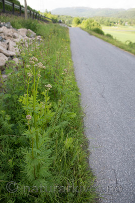 SIG_4177 / Valeriana officinalis / Legevendelrot
