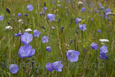 SIG_4302 / Campanula rotundifolia / Blåklokke