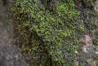 SIG_5190 / Hygrohypnum montanum / Huldrebekkemose
