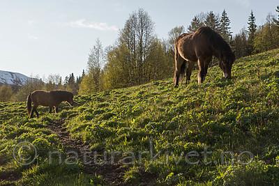 SIG_6480 / Equus caballus / Hest