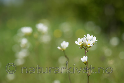 SIG_6545 / Saxifraga granulata / Nyresildre