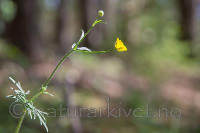 SIG_6839 / Ranunculus polyanthemos / Krattsoleie