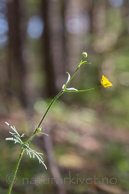 SIG_6841 / Ranunculus polyanthemos / Krattsoleie