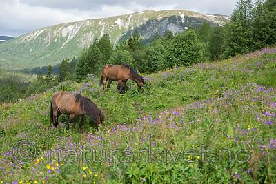 SIG_7118 / Equus caballus / Hest