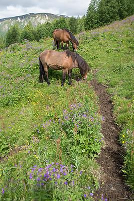 SIG_7125 / Equus caballus / Hest