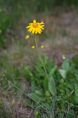 SIG_7180 / Arnica montana / Solblom