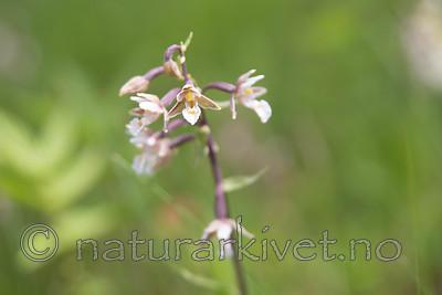 SIG_7498 / Epipactis palustris / Myrflangre