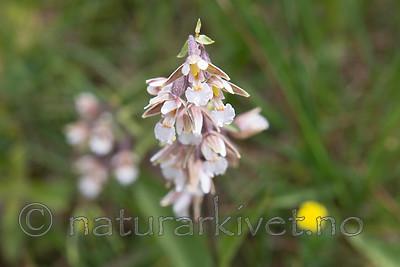 SIG_7511 / Epipactis palustris / Myrflangre