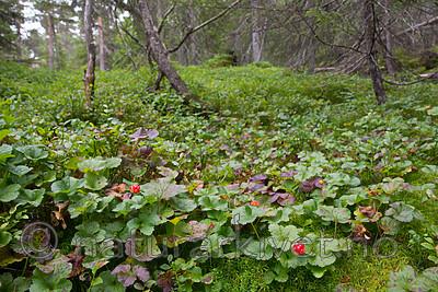 SIG_7616 / Rubus chamaemorus / Molte