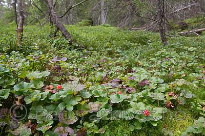 SIG_7618 / Rubus chamaemorus / Molte