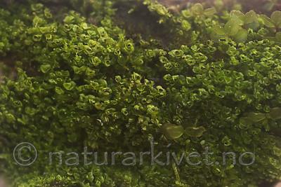 SIG_7828 / Scapania apiculata / Fakkeltvebladmose