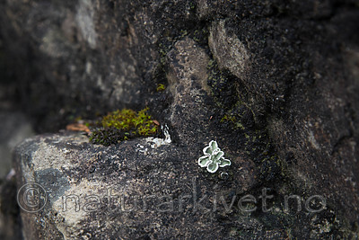 SIG_8134 / Squamarina gypsacea