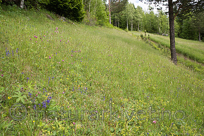 SIG_8971 / Polygala vulgaris / Blåfjær