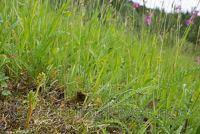 SIG_9029 / Botrychium matricariifolium / Huldrenøkkel