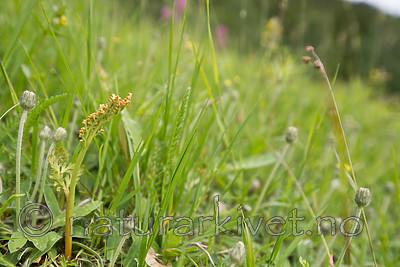 SIG_9062 / Botrychium matricariifolium / Huldrenøkkel