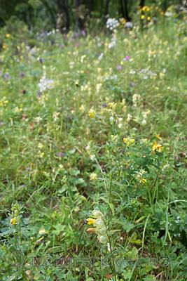 SIG_9216 / Rhinanthus angustifolius / Storengkall