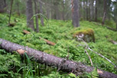 SIG_9330 / Cinna latifolia / Huldregras