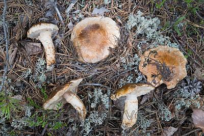 SIG_9784 / Tricholoma focale / Teglrød kragemusserong