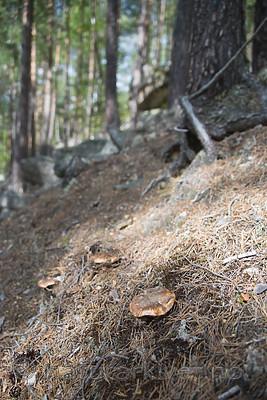 SIG_9825 / Tricholoma focale / Teglrød kragemusserong