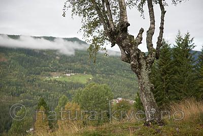 SIG_9952 / Betula pubescens pubescens / Dunbjørk