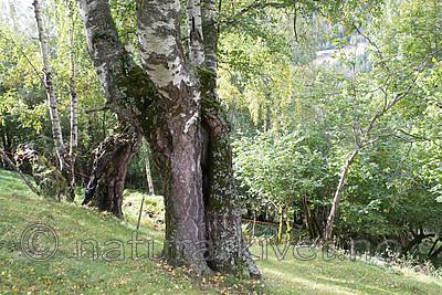 SIG_9975 / Betula pubescens pubescens / Dunbjørk