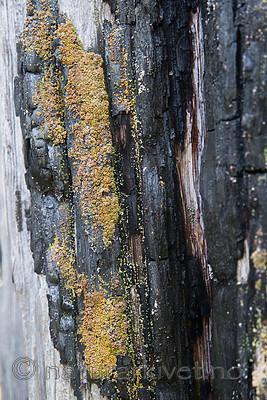 SIG_9994 / Carbonicola myrmecina / Mørk brannstubbelav