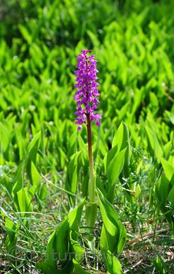 SIR_0556 / Orchis mascula / Vårmarihand