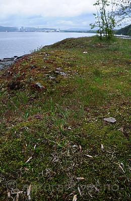 SIR_0775 / Cladonia subrangiformis / Kystgaffel