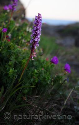 SIR_0884 / Gymnadenia conopsea / Brudespore
