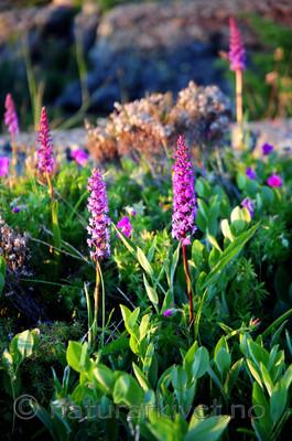 SIR_0901 / Gymnadenia conopsea / Brudespore