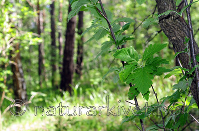 SIR_1376 / Sorbus subpinnata / Grenmarasal