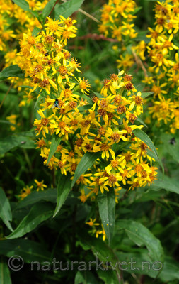 SIR_2428 / Solidago virgaurea / Gullris