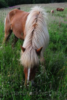 SIR_2571 / Equus caballus / Hest