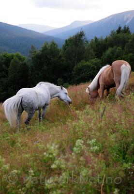 SIR_2605 / Equus caballus / Hest