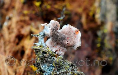 SIR_2698 / Hydnellum gracilipes / Skyggebrunpigg