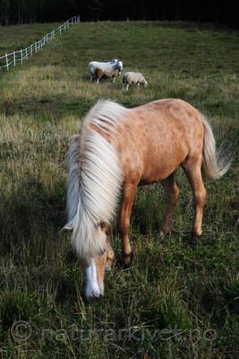 SIR_2887 / Equus caballus / Hest