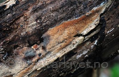 SIR_2977 / Mycoacia fuscoatra / Mørk vokspigg