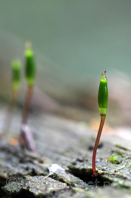 SIR_3388 / Buxbaumia viridis / Grønnsko