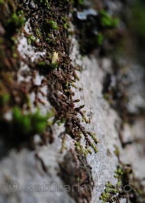 SIR_3416 / Frullania oakesiana / Oreblæremose